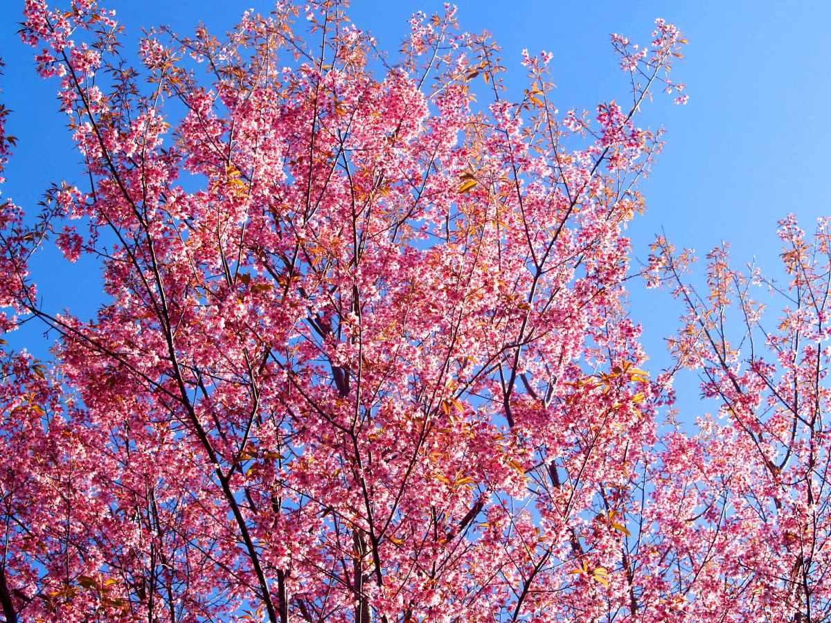 Cherry Blossom Festivals InAmerica